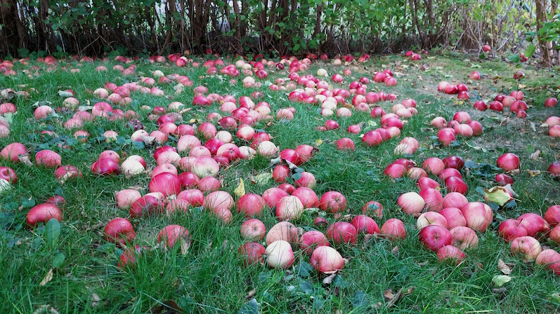 andlos-appelplockning