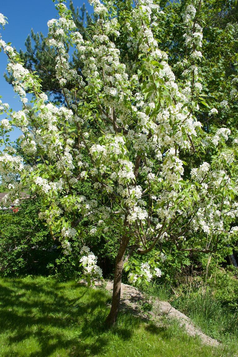 försommarbilder päronträd